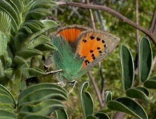 Provence Hairstreak depositing eggs on foodplant I...